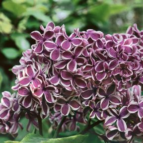 Syringa Vulgaris Sensation  ] 1229510250 - Flower Power