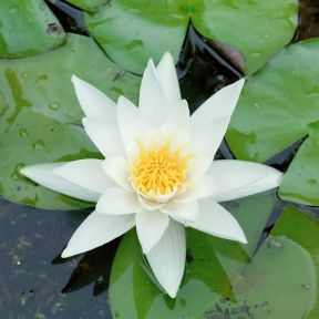 Nymphaea 'White'  ] 135650 - Flower Power
