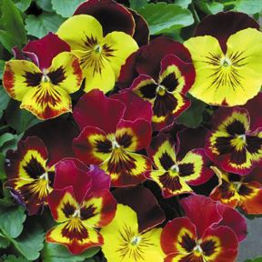Pansy Autumn Blaze  ] 1362281006 - Flower Power