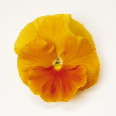 Pansy Orange  ] 1362341006 - Flower Power