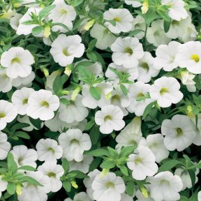 Bacopa Colossal White