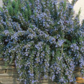 Rosemary Trailing  ] 1539590100 - Flower Power