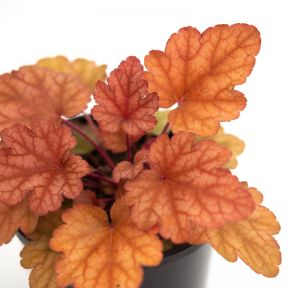 Heuchera Marmalade  ] 1550630140 - Flower Power