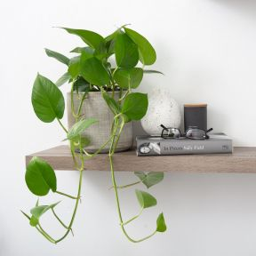 Jade Pothos  ] 1623660180 - Flower Power