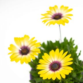 Osteospermum Blue Eyed Beauty  ] 1659270140 - Flower Power