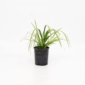 Lomandra Tropic Cascade  ] 1667760140 - Flower Power
