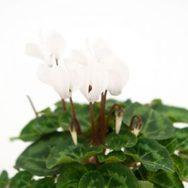 Cyclamen Verano White  ] 1687020080 - Flower Power