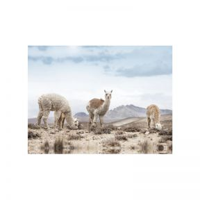 FP Collection Alpaca Views Canvas Wall Art