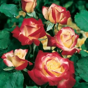 Double Delight Rose Standard  ] 4721400250 - Flower Power