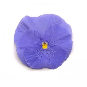 Pansy Clear Blue  ] 8430101002 - Flower Power