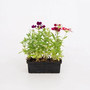 Verbena Mixed  ] 8431801002 - Flower Power