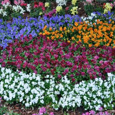 Viola Mixed  ] 8431901002 - Flower Power
