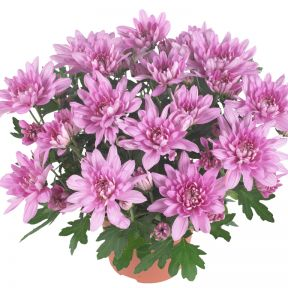 Chrysanthemum Chrystal Pink  ] 9000200140 - Flower Power