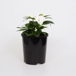 New Guinea Impatiens Harmony Snow  ] 9000490140 - Flower Power