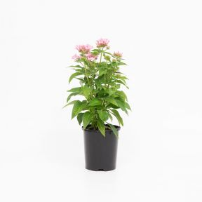 Pentas Graffitti Pink  ] 9000770140 - Flower Power