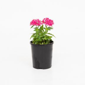 Pentas Graffitti Rose  ] 9000790140 - Flower Power