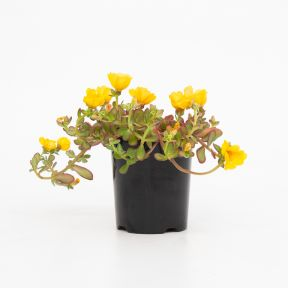 Purslane Portogrande Yellow  ] 9000860140 - Flower Power