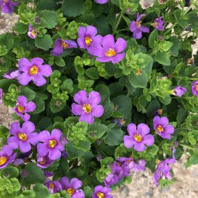 Bacopa Scopia Gulliver Violet  ] 9003770140 - Flower Power