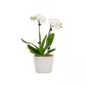 Living Trends Mini Orchid Planter  ] 9010469999 - Flower Power