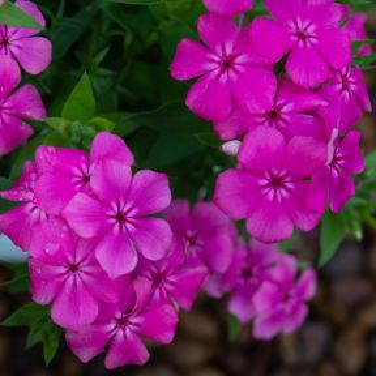 Phlox Gisele Hot Pink  ] 9013350085 - Flower Power