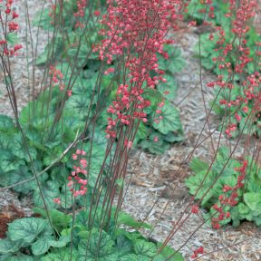 Heuchera Peppermint Spice  ] 9019700140 - Flower Power