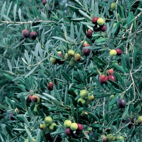 Olive Arbequina  ] 9033610200 - Flower Power