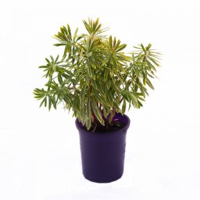 Euphorbia Ascot Rainbow  ] 9313208006073 - Flower Power