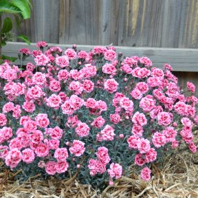 Dianthus Sugar Plum  ] 9313208011992P - Flower Power