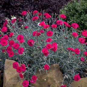 Dianthus Waterloo Sunset  ] 9313208014740P - Flower Power