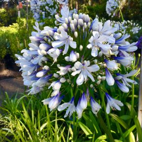 Blue Ice African Lily  ] 9313598109927P - Flower Power