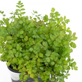 Lebanese Cress  ] 9314842002377 - Flower Power