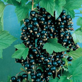 Blackcurrant  ] 9319762004197 - Flower Power