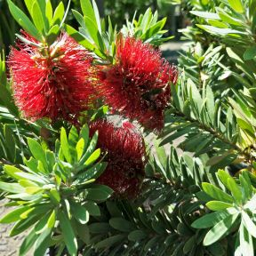 Little John Bottlebrush  ] 9321846018143P - Flower Power