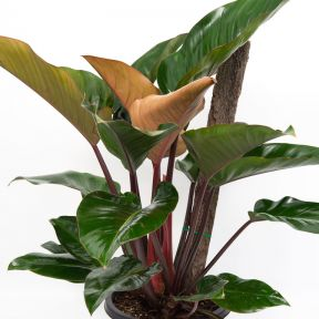 Rojo Congo Philodendron  ] 9328796052234P - Flower Power