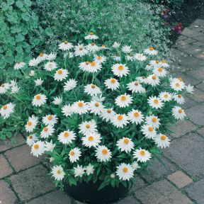 Sundaze White Everlasting Paper Daisy  ] 9336922016159 - Flower Power
