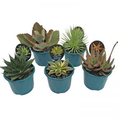 Succulents Assorted Rare  ] 9337006000125 - Flower Power