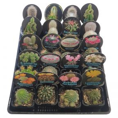 Cactus Assorted Rare Collectors Range  ] 9337006005502 - Flower Power
