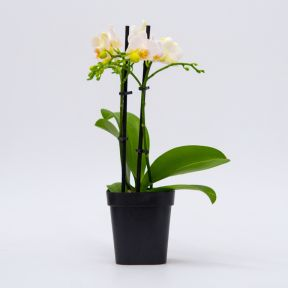 Assorted Phalaenopsis Mini Double Orchid  ] 9349513000567P - Flower Power