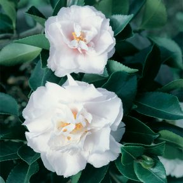Camellia Marge Miller Topiary Standard  ] 9324787000451 - Flower Power