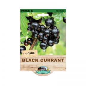 Black Currant  No] 9315774073596 - Flower Power