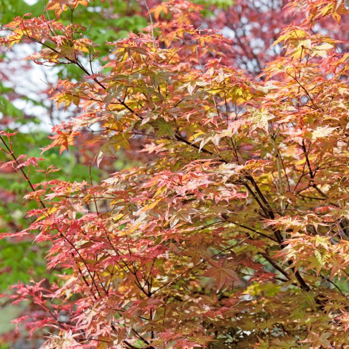 Acer Palmatum  No] 1028330300 - Flower Power