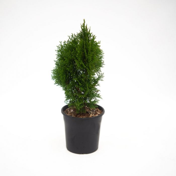 Conifer Smaragd color No 1093400200