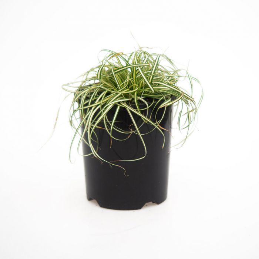 Carex Everoro  No] 1145610140 - Flower Power