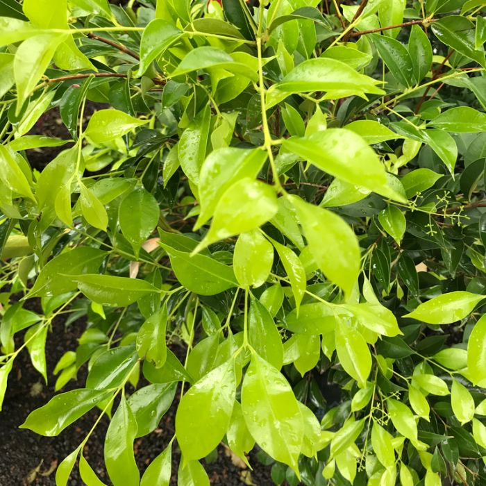 Lilly Pilly Green Form color No 1198521000P
