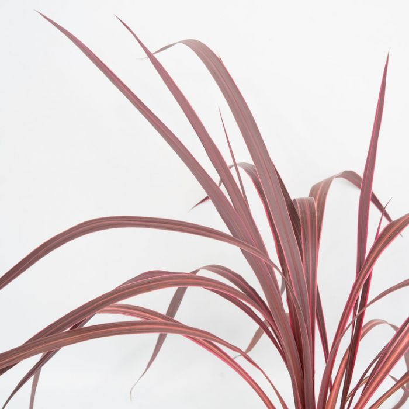 Electric Pink / Cordyline color No 1298230200P