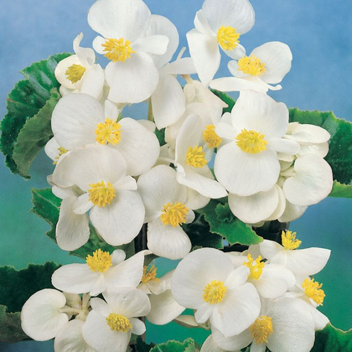 Begonia Green Leaf White color No 1362101006P