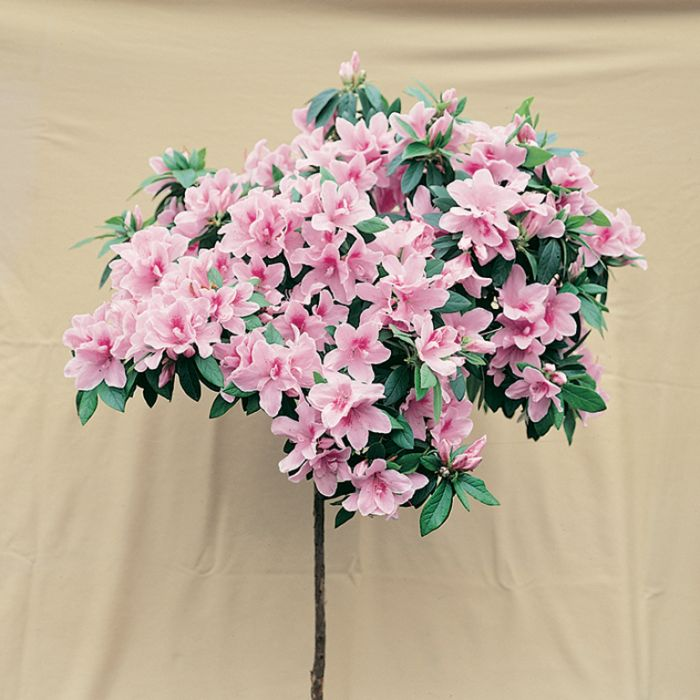 Azalea Alphonse Anderson color No 1379650140P