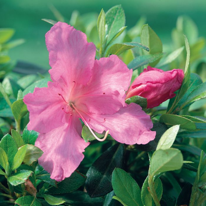 Azalea Gumpo Mauve  No] 1379800140P - Flower Power