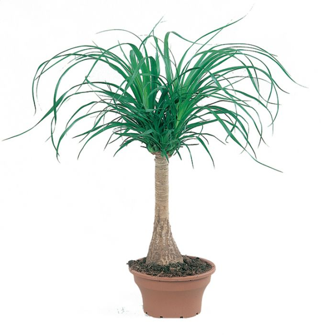 Ponytail Palm color No 1410900200P