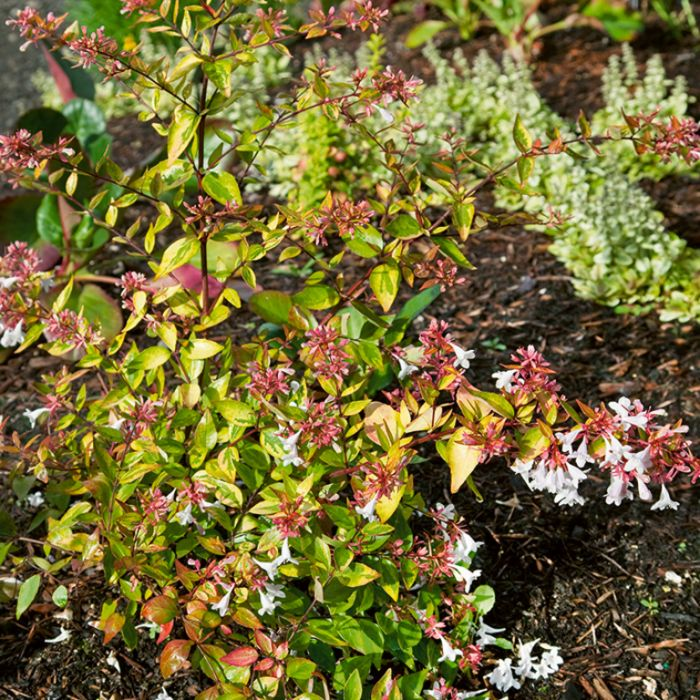 Golden Abelia Francis Mason color No 1463500200P